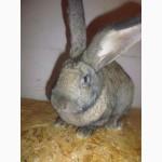 Продам чистопородных кролей: Фландеры, Бараны, Шиншилы, Белые великаны, Калифорнийцы
