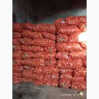 Лук манас универсо красный или фиолетовый лук