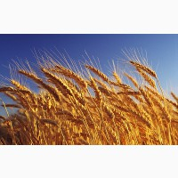 Пшеница 4кл 5 кл