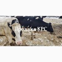 Продажа по России Молочные нетели КРС