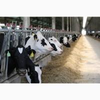 Продажа КРС оптом молочные нетели