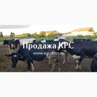 Продаем племенных нетелей молочных пород оптом