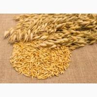 Овес зерно