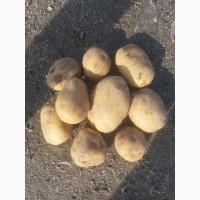 Предлагаем картофель