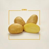 Семенной картофель Джувел (Ювел)