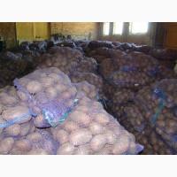 Картофель оптом от 13 р/кг из КФХ