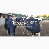 Продажа КРС оптом по России, Молочные нетели КРС, Продажа племенных нетелей