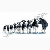 Искусственное осеменение коров и тёлок
