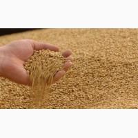 Пшеница протеин 12.50