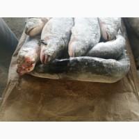 ООО Сантарин реализует рыбу свежемороженную, крабы, креветки, устрицы