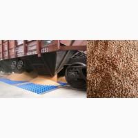 Пшеница 5 класса CPT Достык