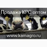 Высокопродуктивный скот