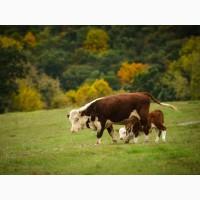 Крупно рогатый скот мясного направления