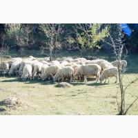 Овцы романовские и Дорпер