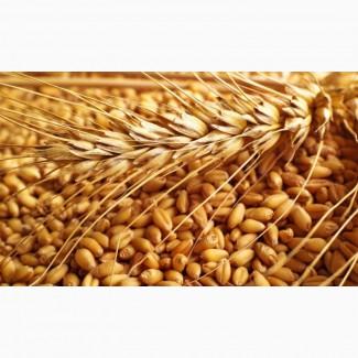 Зерно пшеницы 3-4 класса