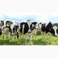 Купите молочных пород Нетелей племенных от 30 голов