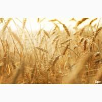 Закупаем пшеницу 4-5 класса.Цена договорная