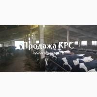 Продажа высокопродуктивных молочных коров оптом