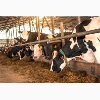 Продажа КРС оптом по Росси, Молочные породы КРС, Продажа племенных нетелей