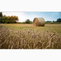 Закуп пшеницы 3-4 класса