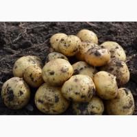 Картофель свежий оптом с доставкой