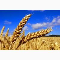 Закуп пшеницы 3-4 класса!!!! по казахстану