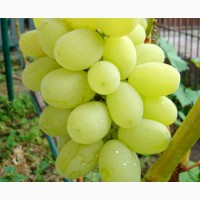 Виноград Лора (Флора