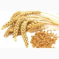 Пшеница 3-4 кл