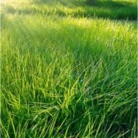 Семена травасмесей