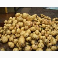 Картофель свежий оптом