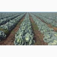 КАПУСТА БЕЛОКОЧАННАЯ - поставки из Украины - Овощи, фрукты