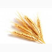 Закупаю Пшеницу