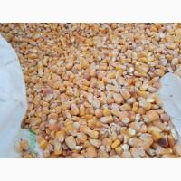 Кукуруза фураж