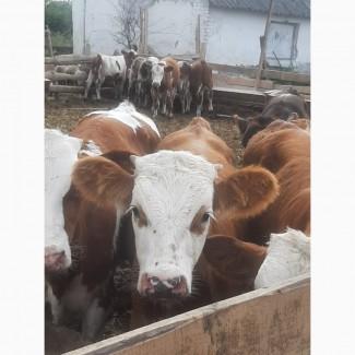 Продам стадо бычков от поставщика