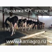 Продажа племенных пород КРС молочного направления, Нетели, Коровы, Телки.по Казахстану