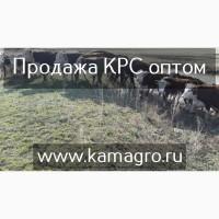 Продажа племенных пород КРС молочного направления