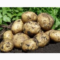 Картофель продам ЗКО, Уральск 55 тенге