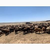 Продаются овцы Едилбаевской породы
