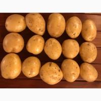 Картофель Оптом Качественный