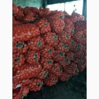 Продам картофель сорт Галла (крупный и семенной)
