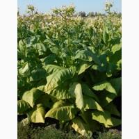 Семена табака почтой