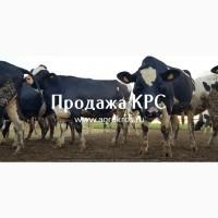Продажа КРС оптом по России, Продажа племенных нетелей