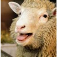 Продам овец баранов