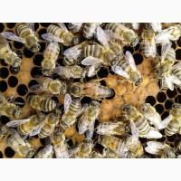 Пчелосемьи и пчелопакеты 2020