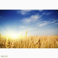 Пшеница 2 класс на Китай