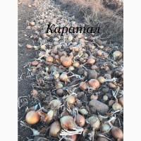 В продаже лук репчатый сортов Манас и Каратал