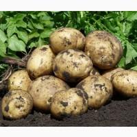 Картофель продажа