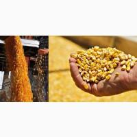 Кукуруза оптом цена