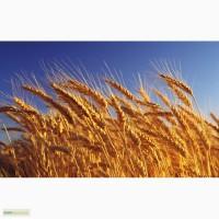 Пшеница 4 класс на Китай