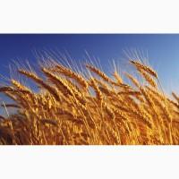 Продам семена пшеницы
